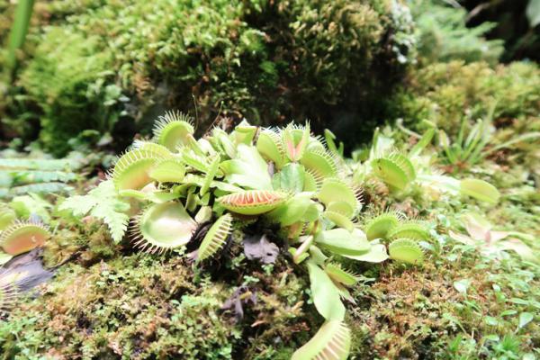 Venus flytrap care - Watering the Venus flytrap