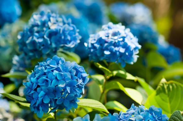 How to change the color of hydrangeas - How to get blue hydrangeas