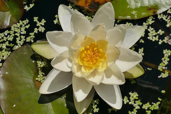 10 white flowers for garden - White water lilies for gardens with water