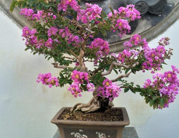 Jupiter tree care - Jupiter bonsai tree care
