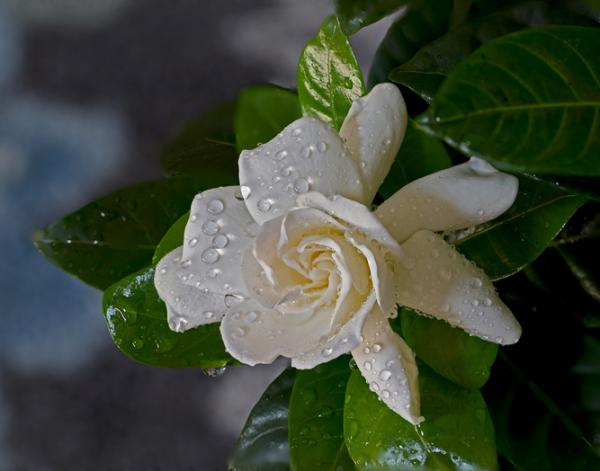 Gardenia care - Watering the gardenias