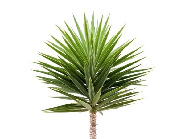 Types of large houseplants - Yucca