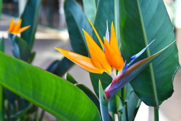 25 Tall Indoor Plants - Bird of Paradise