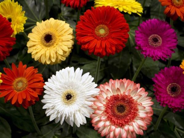 Gerbera plant: care and meaning - Gerbera plant: general meaning and color