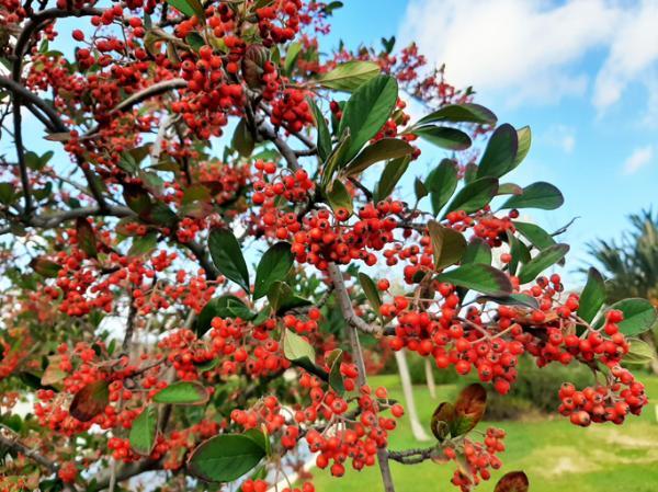 20 ornamental trees - Hunter's Rowan or Azarollo
