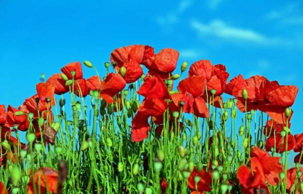 22 spring flowers - Poppy
