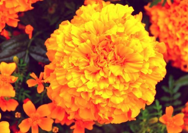 22 spring flowers - Moor's carnation