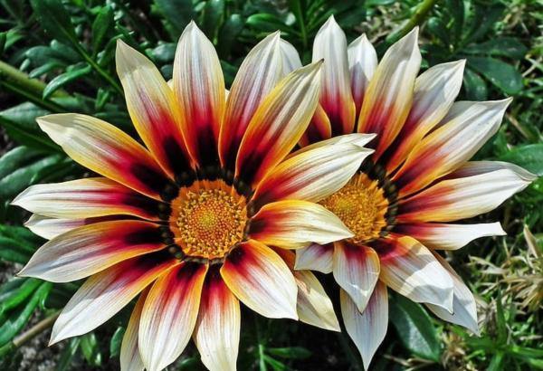 22 spring flowers - Gazania