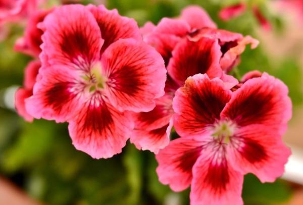 22 spring flowers - Geranium