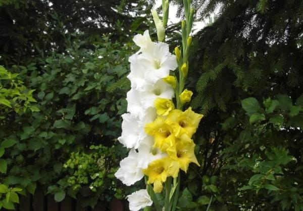 +20 plants with yellow flowers - Yellow Gladioli