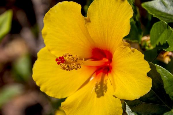 +20 plants with yellow flowers - Hibiscus or yellow Jamaica flower