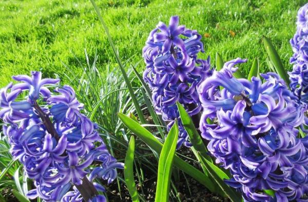 22 spring flowers - hyacinth