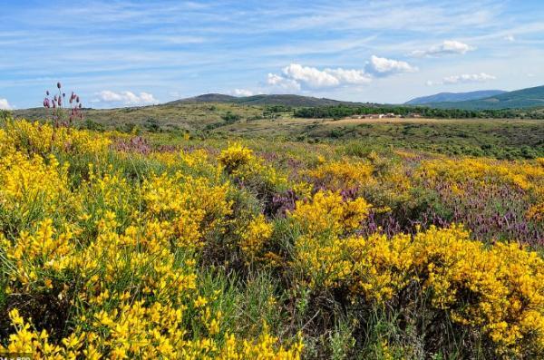 +20 plants with yellow flowers - Retama