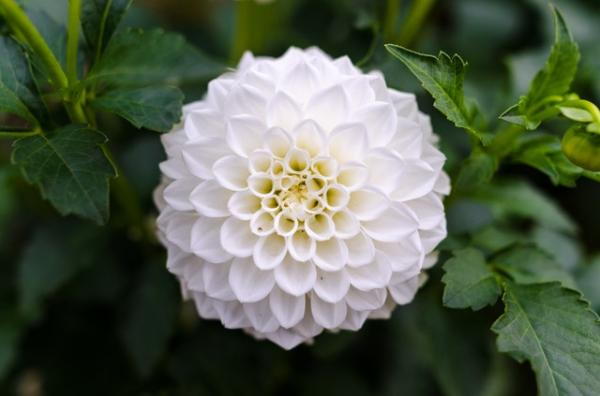 Chrysanthemum care and cultivation - How is the chrysanthemum plant