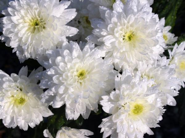 Chrysanthemum care and cultivation - What is the meaning of chrysanthemum