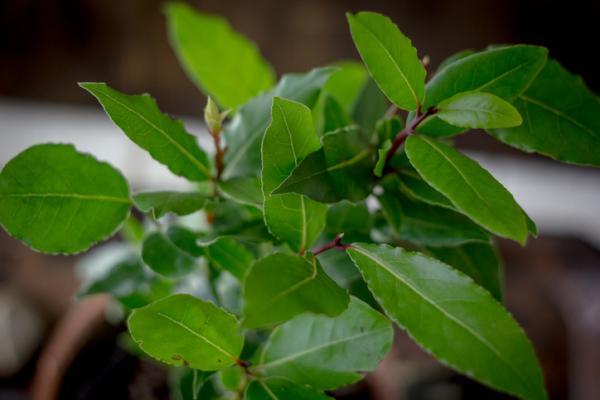 Aromatic indoor plants - Laurel