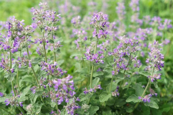 Indoor and Outdoor Fly Plants - Cat Mint