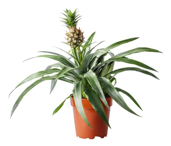 How to plant a pineapple - How to plant a potted pineapple - step by step