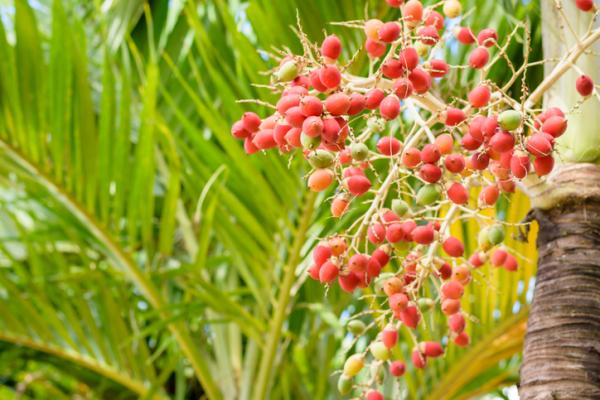 Indoor palm trees: names, characteristics, care and photos - Adonidia merrillii or Christmas palm