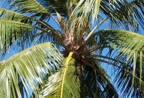 Indoor palm trees: names, characteristics, care and photos - Cocos nucifera or coconut tree