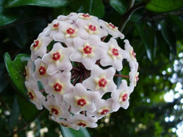 Names of the most exotic flowers in the world - Porcelain flower
