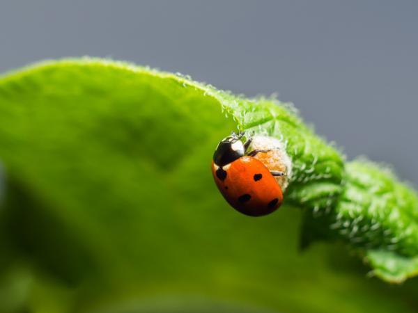 Home Remedies To Eliminate Potato Beetle - Plants That Attract Predators Of The Potato Beetle