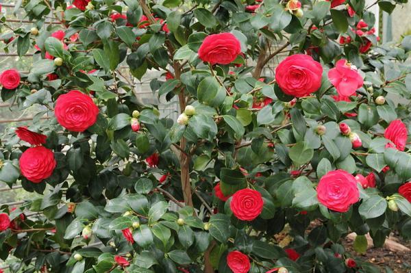 21 flowering bushes - Camellia