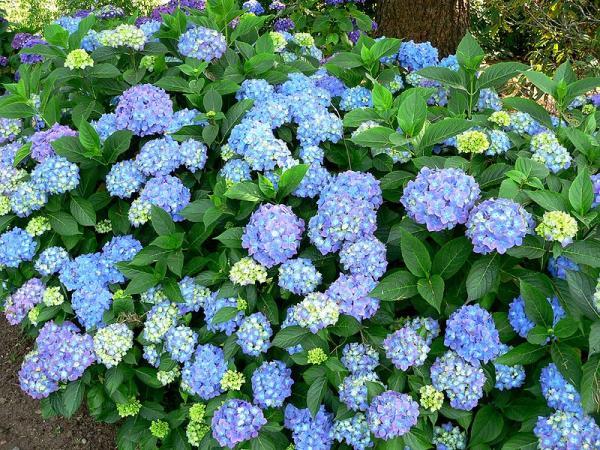 21 flowering shrubs - Hydrangeas