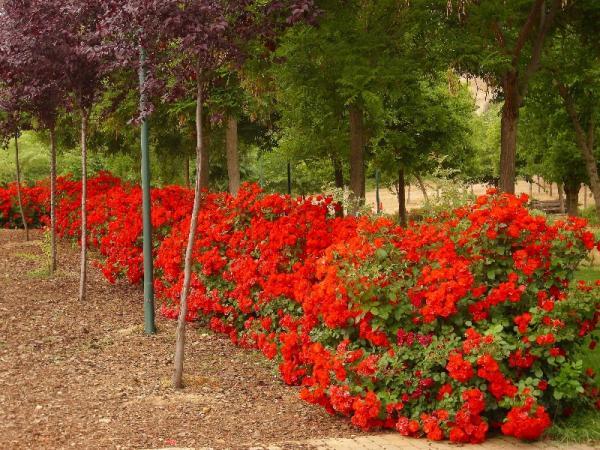 21 flowering shrubs - Rosal La Sevillana