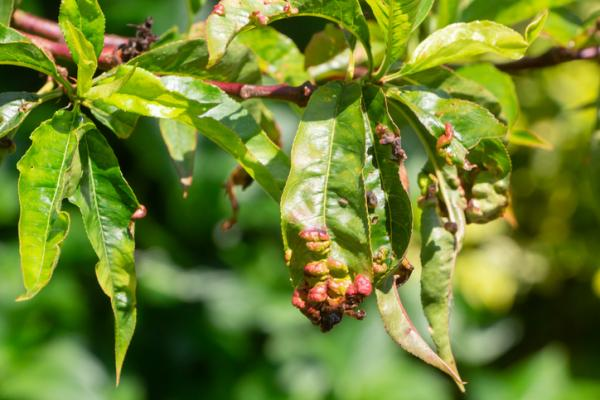 Peach tree diseases - Taphrina deformans or dent