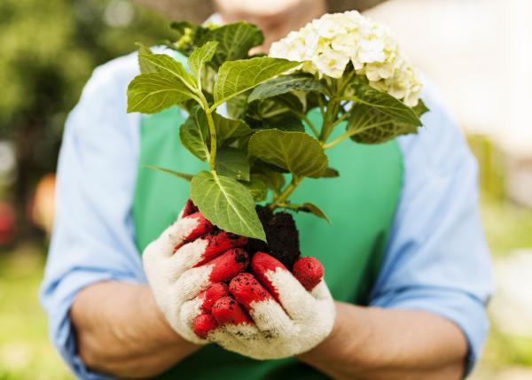 How to Plant Hydrangeas - When to Plant Hydrangeas