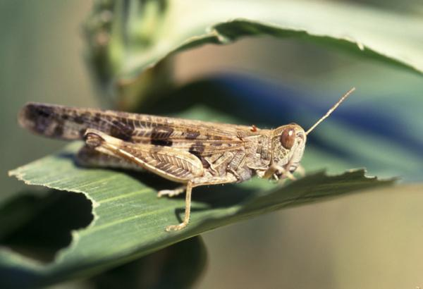 How to eliminate a locust infestation - How to eliminate a locust infestation - natural remedies