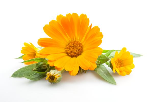Calendula plant: care and what it is for - Growing the calendula