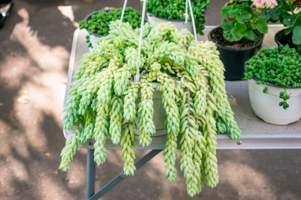 Hanging succulents: types, care and how to reproduce them - Donkey tail