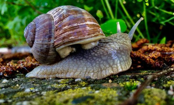 How to eliminate slugs and snails naturally - How to prevent slugs and snails in the vegetable garden and garden