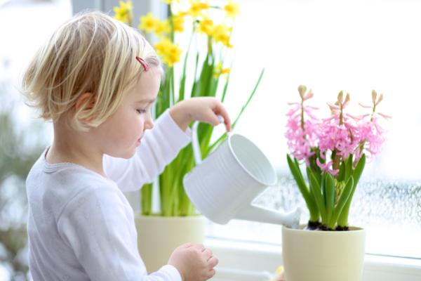 Hyacinth care - How hyacinths are watered