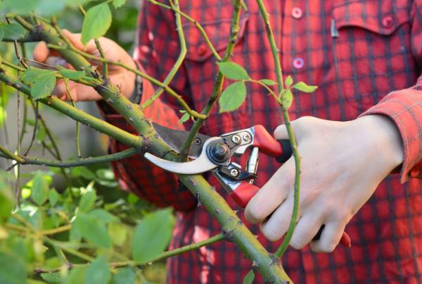 Climbing roses: care and pruning - Pruning climbing roses: when and how to do it