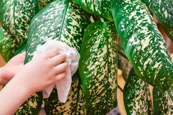 How to Clean Plant Leaves - How to Clean Large Leaf Plants