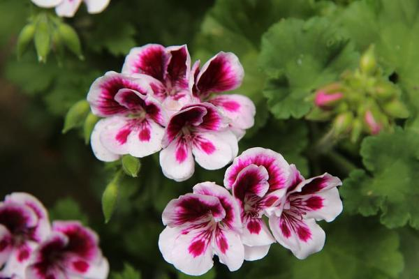 23 types of geraniums - Pelargonium grandiflorum