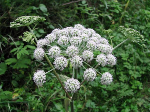 What are the most poisonous plants in the world - Hemlock