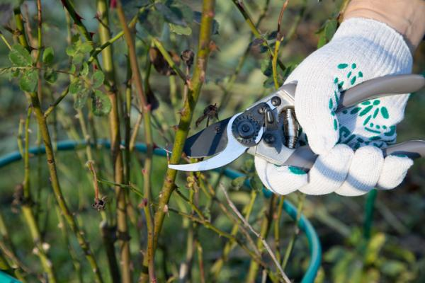 Planting Rose Bush Cuttings: Preparation And How To Do It - Which Stems To Use To Make Rose Cuttings And When To Make Them