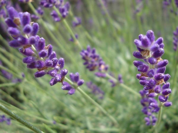 12 types of lavender - Lavandula angustifolia or lavender