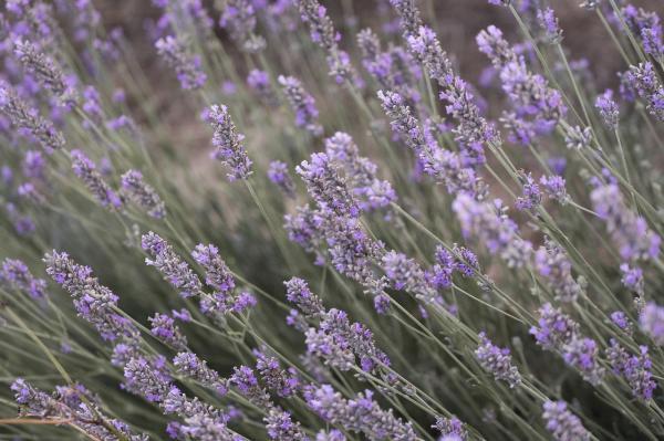 12 types of lavender - Lavandula lanata