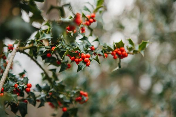 Holly care - Holly pruning