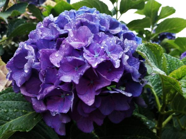 How to care for potted hydrangeas - Watering potted hydrangeas