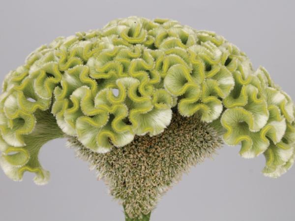 15 green flowers - Celosia cristata or cockscomb