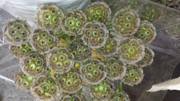 15 green flowers - Scabiosa stellata or lesser scabiosa