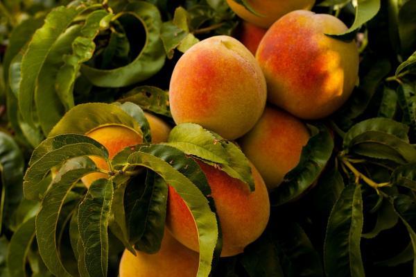 Germinate peach seeds: how to do it and care - Peach or peach tree care