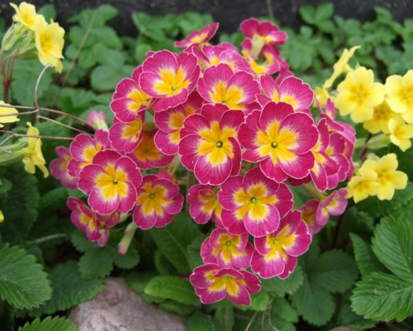 Winter Flowering Plants for Outdoors - Primrose Obconic