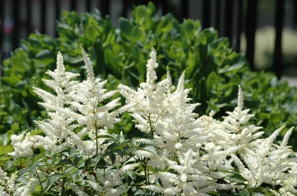 Outdoor potted plants - El astilbe